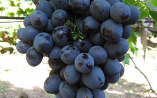 Виноград Мерседес: характеристика и описание сорта, особенности выращивания и ухода, фото