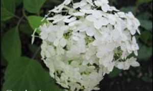 Гортензия Бретшнейдера почвопокровная: описание и фото, посадка и уход, как выглядят всходы из семян