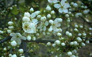 Слива растопыренная: сорта, описание и особенности, выращивание и уход в домашних условиях, фото