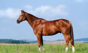 Копыта лошади: анатомия строения и части копыта – какое изнутри с фото
