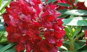 Рододендрон гибридный Франческа (Francesca): описание с фото, морозостойкость, размножение, применение в ландшафтном дизайне