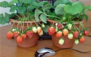 Клубника на подоконнике дома: выращивание в квартире круглый год