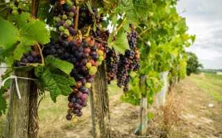 Обработка винограда пищевой содой и йодом: как опрыскать