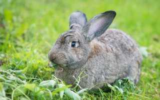 Шиншилловый кролик: описание породы и фото, особенности разведения и содержания