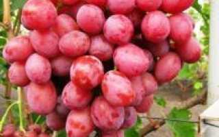 Виноград Дюжина: описание сорта, фото, выращивание и уход