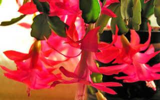 Виды декабриста: описание и названия с фото, основные правила выращивания и ухода