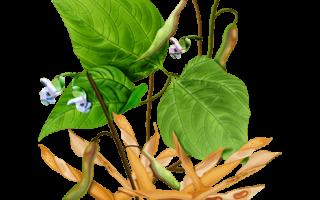 Лечебные свойства стручков фасоли: польза и противопоказания, рецепты для применения