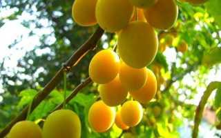 Слива Утро: описание и характеристика сорта, особенности ухода и выращивание, фото