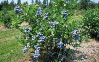 Голубика низкорослая Норд Кантри (North Country): описание сорта, опылители, посадка, отзывы и фото