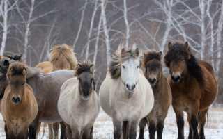 Якутская лошадь: описание и характеристика породы с фото, особенности ухода, содержания и питания, видео