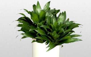Драцена «Компакта»: описание растения, размножение, уход в домашних условиях, как формировать ствол, фото