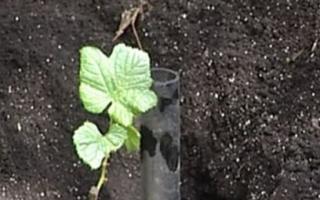 Как правильно посадить виноград осенью, черенками и саженцами