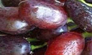 Виноград Джованни: описание сорта, фото и отзывы