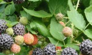 Обрезка ежемалины и чёрной малины весной, осенью: правила, сезонные особенности, подвязка