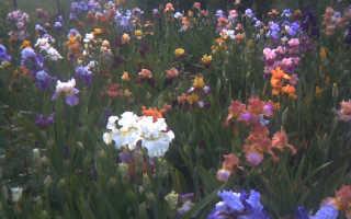Земля для ирисов при посадке в саду: какую почву любят, оптимальная кислотность