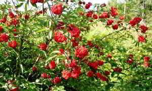 Бузина красная: лечебные свойства и противопоказания, описание, польза и вред цветов в медицине, фото, можно ли есть