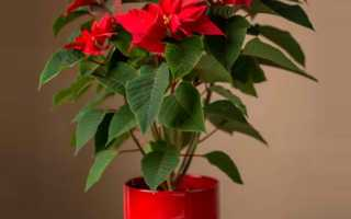 Пуансеттия домашняя: как ухаживать за цветком в домашних условиях
