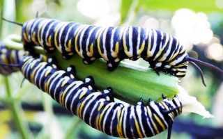 Гусеницы на укропе: что за бабочки, как от них избавиться