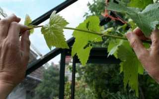 Уход за виноградом летом: обрезка и другие процедуры