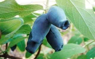 Крупноплодный сорт жимолости Амфора: описание сорта, габариты куста, морозостойкость, опылители, фото, отзывы