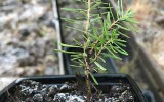 Как размножается пихта: размножение черенками в домашних условиях, как вырастить дерево из ветки, как укоренить и посадить