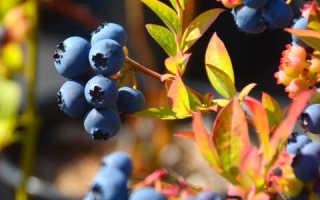 Почему у голубики краснеют листья после посадки весной: причины и что делать, чем подкармливать