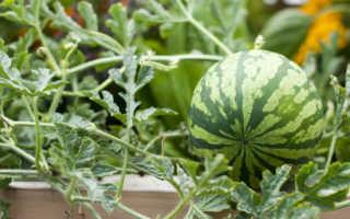 Как вырастить арбуз дома: ТОП лучших сортов для посева, уход в домашних условиях, фото