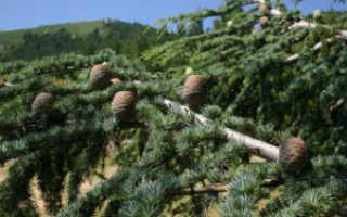 Кедр: фото и описание дерева с шишками, как выглядит молодой саженец и росток, высота и диаметр растения,