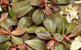 Гоффмания (комнатные растения): уход в домашних условиях, фото