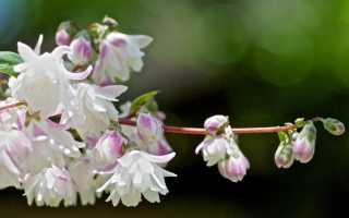 Обрезка дейции: после цветения, осенью, как и когда правильно обрезать, на зиму или весной, осенний уход после