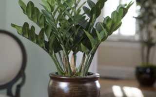 Замия (комнатное растение): уход в домашних условиях, фото, приметы и суеверия