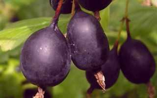 Самые популярные сорта черноплодного крыжовника: описание с фото, особенности сортов,