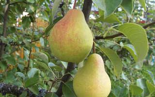 Сорт груши Скороспелка из Мичуринска: описание, характеристика и особенности выращивания