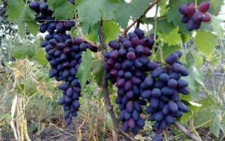 Виноград Кармакод: описание сорта, фото, урожайность, выращивание и уход