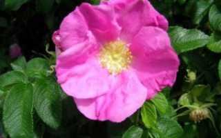 Как отличить розу от шиповника: по листьям и побегам, сходства, различия, фото