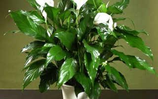 Почему не цветет спатифиллум в домашних условиях: что делать, правильный уход за растением