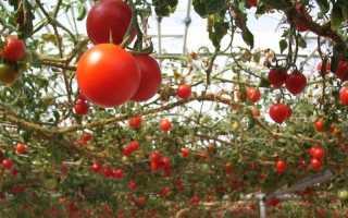 Томат Спрут F1: отзывы с фото, выращивание в теплице, урожайность