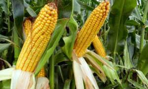 Когда можно собирать кукурузу: в каком месяце и в какое время года, как правильно хранить урожай, видео