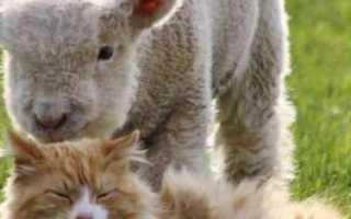 Карликовые овцы Уэссент (Ovis aries Ouessant): основные характеристики, выращивание, фото
