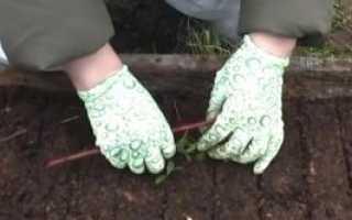 Правильное выращивание брусники на даче, садовом, приусадебном участке: посадка, подкормка, уход, особенности