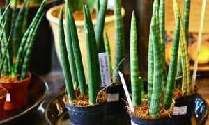Сансевиерия цилиндрика: уход в домашних условиях, фото, размножение