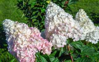 Гортензия метельчатая Пинк Леди: фото, описание кустарника, посадка и уход за цветком