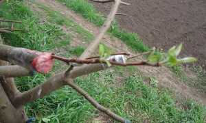 Прививка персика: цель и преимущества, способы и сроки, правила прививки, советы начинающим садоводам