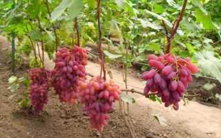 Виноград «Фаэтон»: характеристика сорта, особенности ухода, полезные свойства, фото