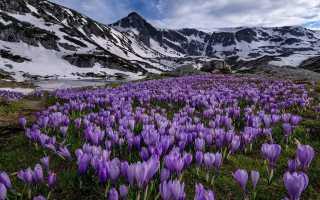 Цветок крокус (шафран): как выглядит, фото и описание растения