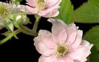 Сорт ежевики Лох Мери: описание с фото, преимущества и недостатки, урожайность