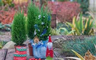 Кипарис в горшке: посадка, как ухаживать в домашних условиях за растением, можно ли высаживать на даче, как