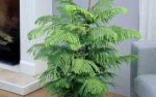 Араукария комнатная: уход в домашних условиях, пересадка, размножение