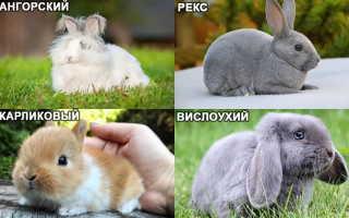 Декоративные кролики: уход и содержание в домашних условиях, полезные советы для начинающих