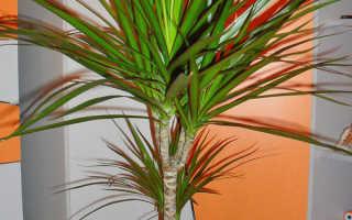 Как правильно посадить драцену и ухаживать в домашних условиях